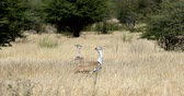 Намибия : two big bird Kori Bustard in african bush, Kalahari South Africa, Africa wildlife