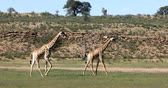 camelopardalis : cute Giraffes grazing in Kalahari green desert after rain season. Kgalagadi Transfrontier Park, South African wildlife safari Stock Footage