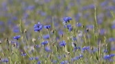 bacharel : Beautiful blue Cornflower Centaurea cyanus. Beautiful flowers with blue bloom in summer meadow, summer agriculture concept and landscape with blue sky. Vídeos