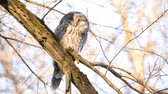madarászni : Ural owl sitting on a branch and napping (Strix Uralensis) Stock mozgókép