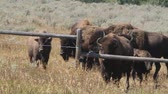 yellowstone : Bison in yellowstone