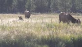 sürü : Bison in yellowstone
