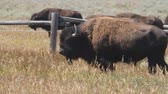 kuh : Bison im Yellowstone