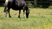 konie : Horse eating grass