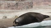 alvás : Seal sleeping on a rock