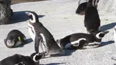 siyah beyaz : Penguins walking, and swimming Stok Video