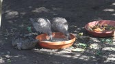 alimentos : Birds eating and drinking from plate