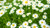 sunny side up : Summer field, meadow with white daisies