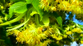 lipa : Honey bee in Linden Flowers, Apis Carnica in Linden Flowers, close up of Bumble bee collecting nectar, honey, bee pollinating Wideo