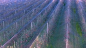 kroupy : Apple plantation, orchard with anti hail net for protection from above, aerial shot, natural disaster and severa weather protection in agriculture, fruit production