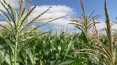 sabugo : In middle of a cornfield. Corn field corn motion farm. Green grass agriculture. Vídeos