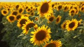 harvest : Sunflower field during sunset Stock Footage