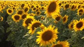zonsondergang : Sunflower field during sunset Stockvideo