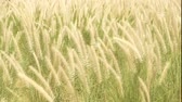 funda : Wild grasses blowing in the wind Stok Video