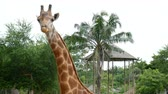 camelopardalis : single giraffe in the zoo safari park. giraffe in the zoo. giraffe chewing. giraffa camelopardalis , head close up. Stock Footage