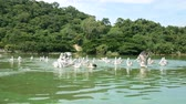 ornitoloji : 4K. group of pelicans bird fly over the lake to catch some fish for food. Pelican bird wildlife