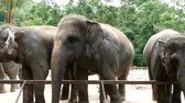 4K footage. group of Asian elephant in the zoo Stock Footage