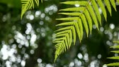 4K. green fern leaves sway from wind with green tree background and bokeh light. green natural background with copy space footage