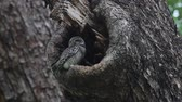 wood : Spotted owlet Athene brama Birds in Tree Hollow Stock Footage
