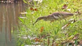 Çin yemek çubukları : Chinese Pond Heron Ardeola bacchus Birds catching food in the pond Stok Video