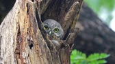 gałązka : Spotted owlet Athene brama Beautiful Birds in tree hollow