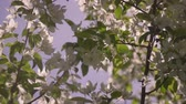 nupcial : A beautiful tree with white to flowers Stock Footage