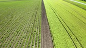 大豆 : An aerial shot of soybean field ripening at spring season, agricultural landscape