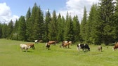 pasturing : Aerial - Picturesque Alpine landscape in spring with cows on pasture beautiful view.
