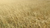 mowed : field of ripening wheat . Spikelets of wheat with grain shakes wind. grain harvest ripens in summer. agricultural business concept. environmentally friendly wheat