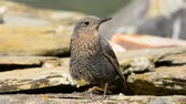 Blue Rock Thrush perched Young Among the rocks