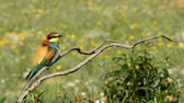 Portrait of european bee-eater (Merops apiaster) on a branch with spring background