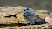Blue Rock Thrush perched Among the rocks