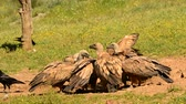 Vultures eating carrion griffon in the pasture