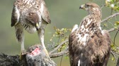 wild : View on beautiful wild Bonellis eagle couple on tree branch eating a rabbit