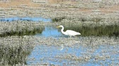 A great egret elegant hunting in a pond.