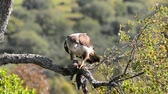 View on beautiful wild Bonellis eagle on tree branch eating a rabbit