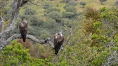 View on beautiful wild Bonellis eagle couple on tree branch eating a rabbit