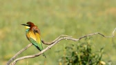 Bright colorful bee-eater on tree branch Against background of green.