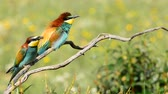 Bright colorful bee-eater on tree branch Against background.Copy of green space