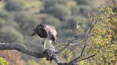Bonellis eagle on tree branch eating a rabbit