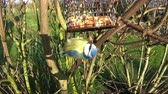 A close up recording of a Eurasian blue tit bird feeding in a domestic garden in northern England.
