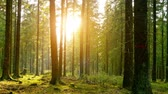 film : Silent Forest in spring with beautiful bright sun rays - wanderlust. smooth camera movement, wide angle shot against orange evening sun. timelapse shot Wideo
