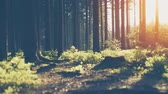 Silent Forest in spring with beautiful bright sun rays - wanderlust. smooth camera movement, wide angle shot against orange evening sun Stock Footage