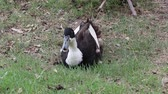 gęś : Dark brown and white color of duck laying down on the greensward. It is a waterbird with a broad blunt bill, short legs, webbed feet, and a waddling gait.