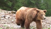 nést : Brown bear in the Carpathians Dostupné videozáznamy