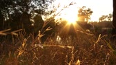reed : Sunrise Through Reeds