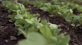 turp : Close-up of young organic radishes growing in a greenhouse in the garden. 4K Stok Video