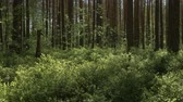 paddestoelen : The camera moves forward over the thick grass in the pine forest. 4K