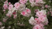 litwa : Beautiful fresh roses in nature. Natural background, large inflorescence of roses on a garden bush. Bush of a rose of pink color
