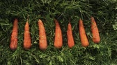erva doce : Fresh carrots lying on the green grass. Fresh crop